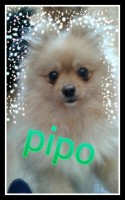 Pipo